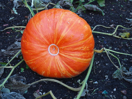 Large orange pumpkin growing on the ground Stock Photo