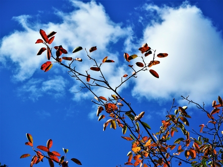 Autumn leaves on a wispy branch against a blue sky with white cloud