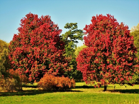Stunning Autumn Glory maples with red autumn foliage in the Yorkshire Arboretum, England