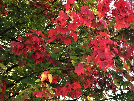 Red and green October Glory maple leaves on a tree in autumn Stock Photo