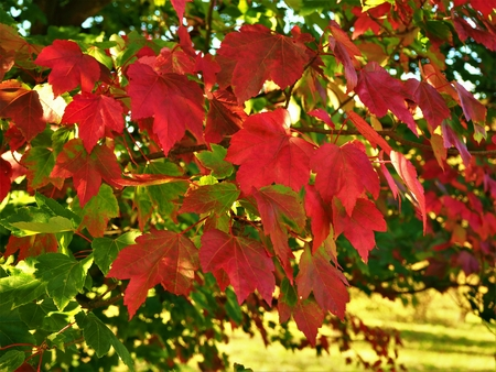 Beautiful red October Glory maple leaves in autumn Stock Photo