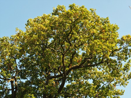 Oak tree canopy with green summer foliage against a blue sky