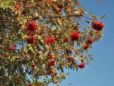 Red rowan berries on a tree in autumn against a blue sky