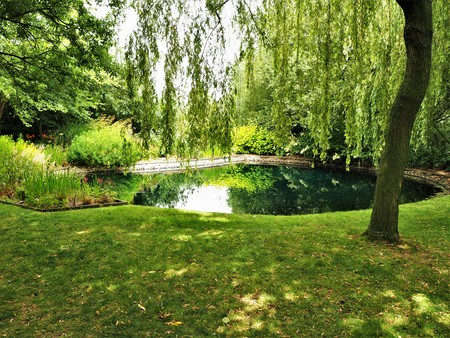 Weeping willow hanging over a small pond in a garden in spring