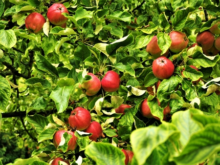 Red apples ripening amongst green leaves in an orchard