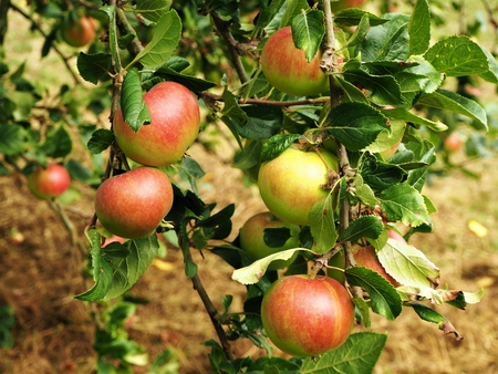 Rosy apples ripening on a branch in an orchard Stock Photo