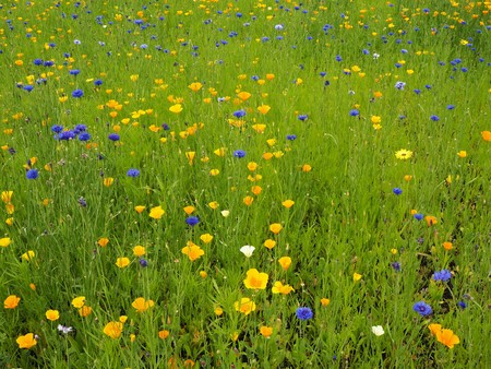 Blue cornflowers and golden Mexican poppies in a flower meadow