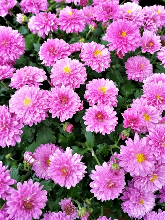 Dense pink Chrysanthemum flowers on a plant Stock Photo