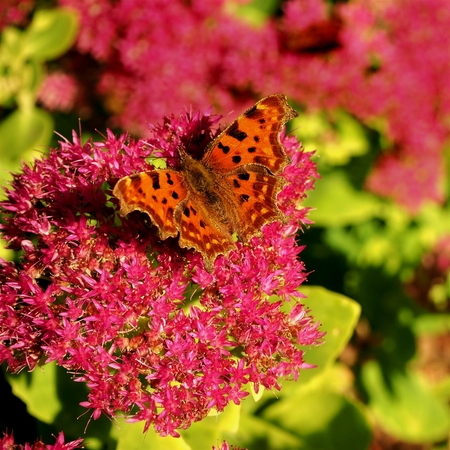 Comma butterfly (Polygonia c-album) on a pink Sedum flower