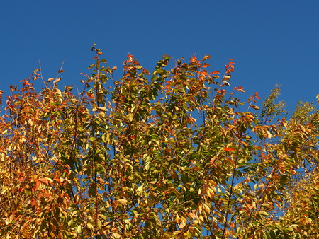 Golden autumn leaves against a clear blue sky