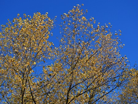 Alder trees with yellow autumn foliage against a blue sky