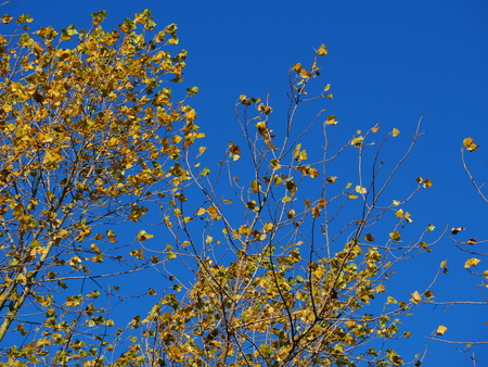 Yellow autumn foliage on an alder tree against a blue sky