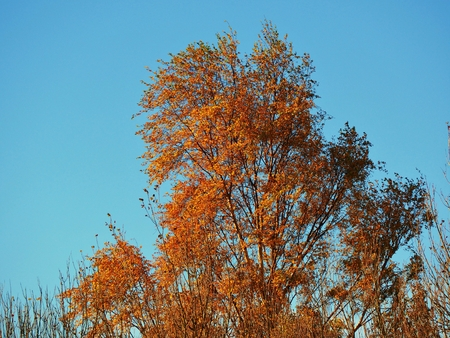 Golden autumn foliage on a birch tree against a blue sky