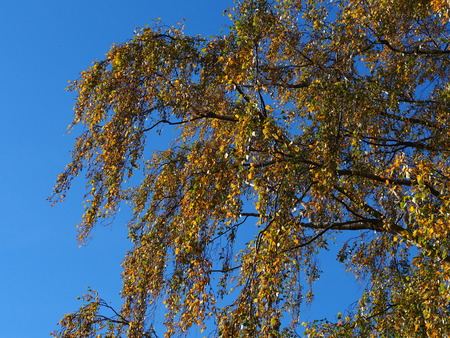 Golden autumn leaves on the branches of a birch tree against a blue sky Stock Photo