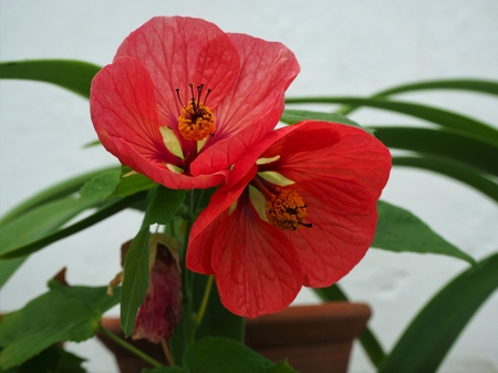 Potted Abutilon plant with two beautiful red and yellow flowers