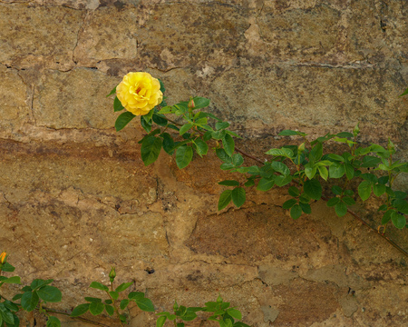 Yellow rose on the end of a long branch growing in front of a stone wall