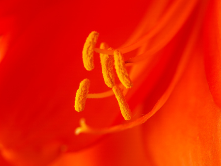 Pollen covered anthers of a bright orange lily flower macro