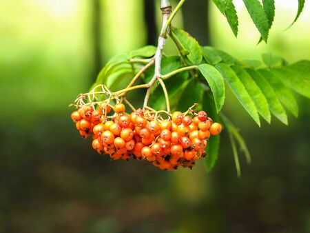 Cluster of bright red rowan berries hanging on a tree branch and catching the sunlight 写真素材