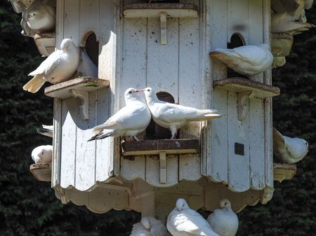White doves in a dovecote showing courtship behaviour