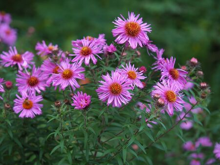 Pretty pink New England asters (Aster novae-angliae) flowering in a garden