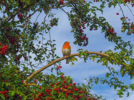European robin (Erithacus rubecula) perched on a branch in a hawthorn tree with red berries