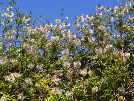 Seed heads and green leaves on a garden Clematis plant with a blue sky background