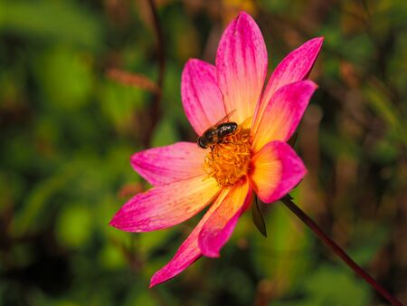 Pretty single Dahlia flower with pink and yellow petals and a honey bee in an autumn garden