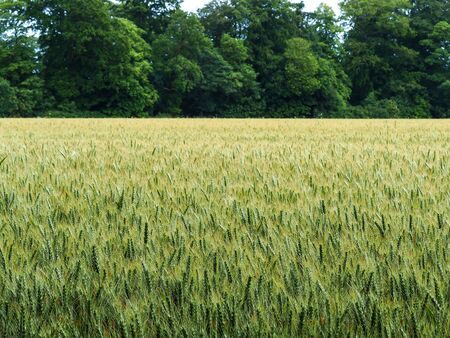 Summer wheat field with green trees in the background in North Yorkshire, England