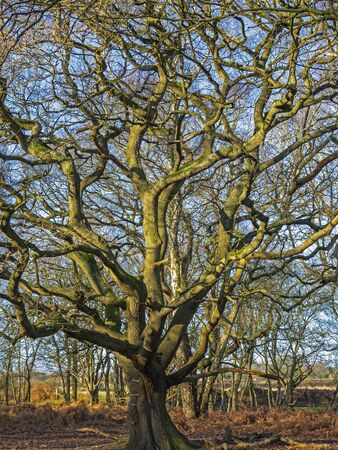 Beautiful old oak tree at Skipwith Common, North Yorkshire, England, with bare winter branches Фото со стока