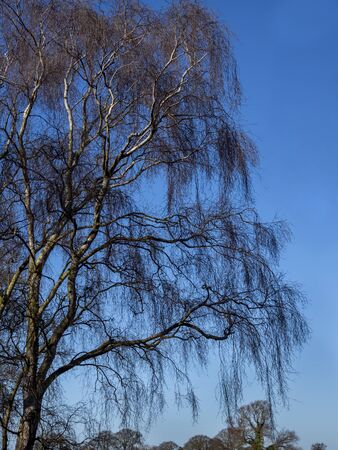 Bare branches of a silver birch tree, Betula pendula, against a clear blue winter sky Фото со стока