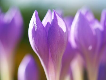 Closeup of tiny crocus flowers with delicate mauve purple petals