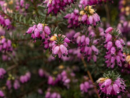 Closeup of the bright pink flowers and green leaves of the winter heath, Erica carnea Фото со стока