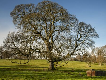 English oak tree on a sunny winter day in a park in North Yorkshire, England Фото со стока