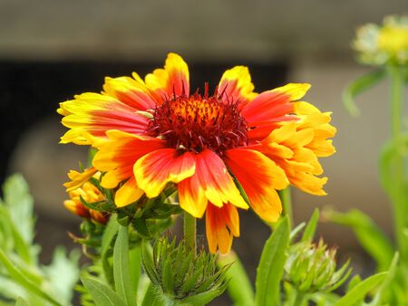 Closeup of a bright orange and yellow flower of Gaillardia x grandiflora