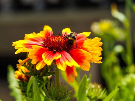 Closeup of a bright orange and yellow Gaillardia x grandiflora flower with a honey bee pollinator