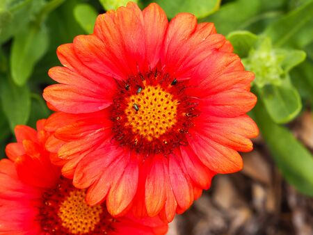 Striking orange red flower of Gaillardia x grandiflora Arizona Red Shades, known as blanket flower