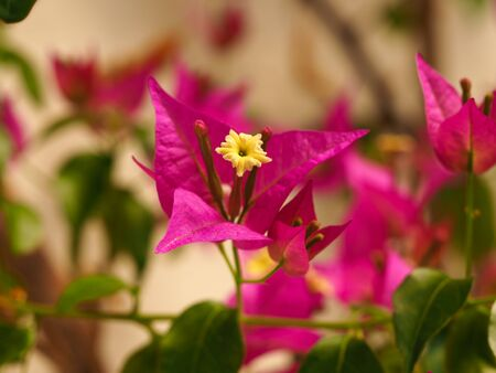 Inflorescence of Bougainvillea glabra with a yellow flower and bright pink bracts