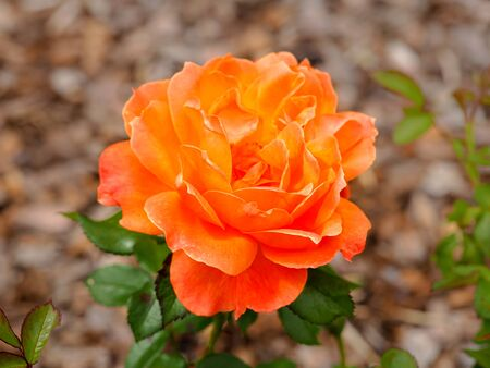 Lovely rose with orange petals, variety Rosa Fellowship floribunda, in full bloom Фото со стока