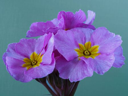 Closeup of pretty pink flowers of Polyanthus Pink Champagne against a light green background