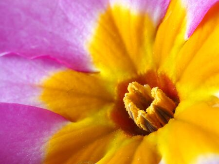 Macro photo of the central pattern and pollen covered stamens of a Polyanthus Pink Champagne flower