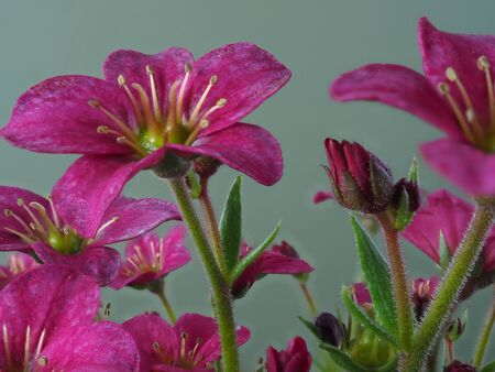 Macro of pretty little Saxifrage flowers, variety Alpino Pink Early, against a plain background