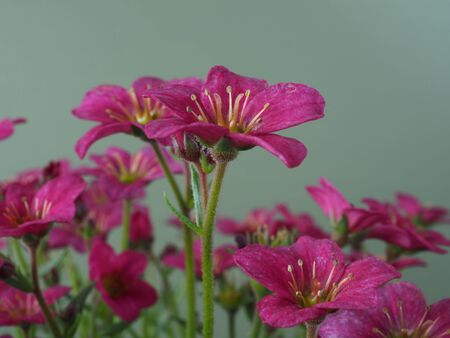 Closeup of pretty little Saxifrage flowers, variety Alpino Pink Early, against a plain background