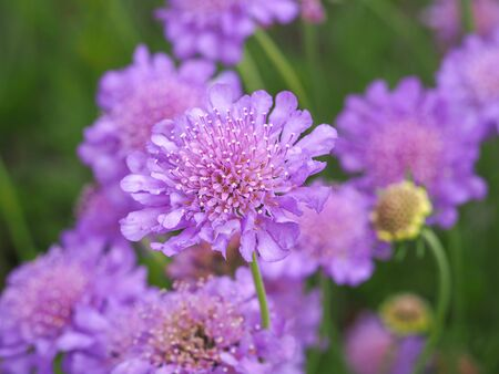 Closeup of pretty mauve Scabious flowers, Scabiosa, in a summer garden