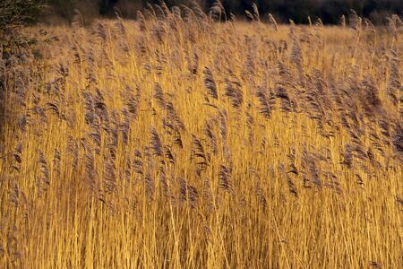 Golden Phragmites reeds in a reed bed at Far Ings Nature Reserve, North Lincolnshire, England Фото со стока