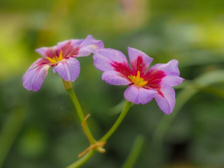 Pretty little pink and purple alpine flowers, Leucocoryne Andes or Glory of the Sun