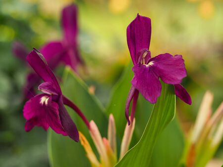 Unusual little dark purple alpine flowers, Roscoea Harvington Evening Star
