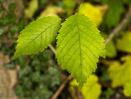 Closeup of two green leaves on an elm tree Ulmus catching the sunlight