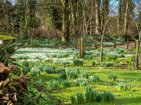 Snowdrops flowering and daffodils developing below trees in a garden in winter