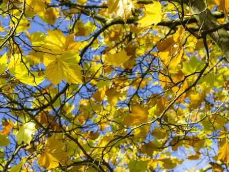 Looking up through the bright yellow autumn leaves of a maple or Acer tree to a blue sky Фото со стока