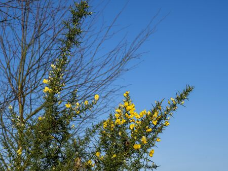 Yellow gorse flowers in winter in North Yorkshire, England, against a clear blue sky Фото со стока